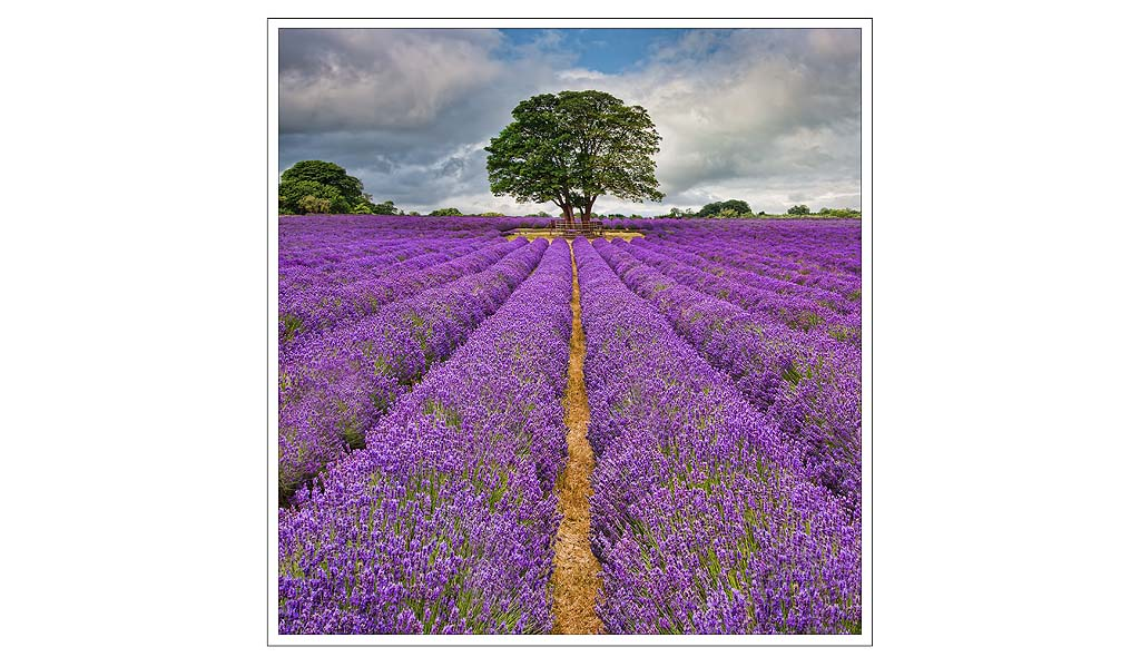 The Lavender Field