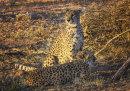Cheetahs Etosha Namibia
