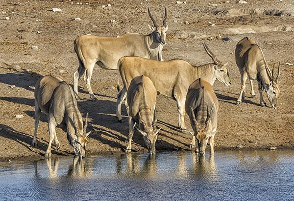 Elands Etosha Namibia