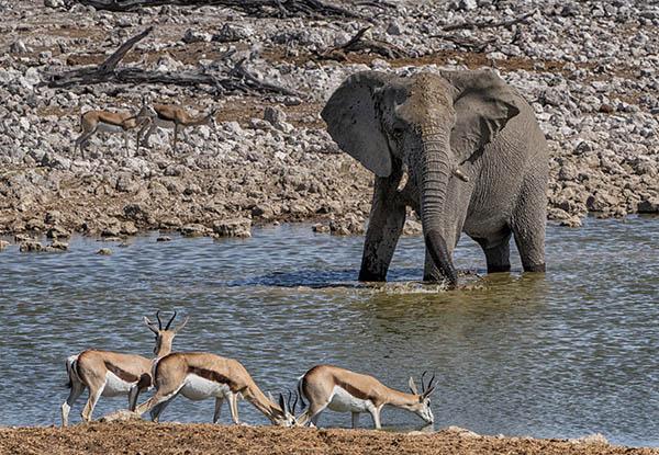 Elephant & Springbok Etosha Namibia