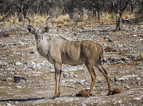 Kudu Etosha Namibia