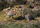 Lesser Rheas