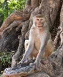 Monkey Pho Win Hill Monywa