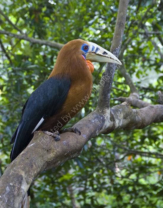 Rufos Necked Hornbill