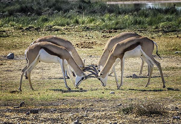 Sprinkbok contest Etosha Namibia