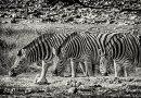 Zebra tosha Namibia
