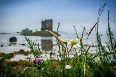 Thistle, wildgrass, daisy and Castle Stalker reflection