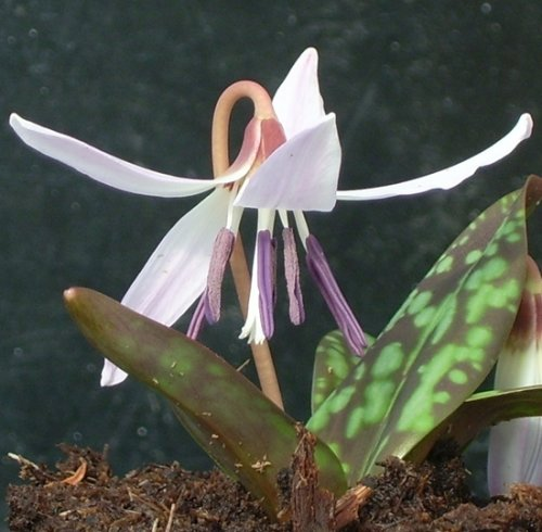 Erythronium dens-canis 'Snowflake' bulb £3.50