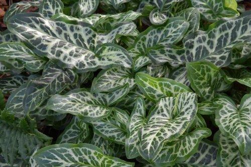 Arum italicum 'Marmoratum' (Pictum) 9cm £4.95