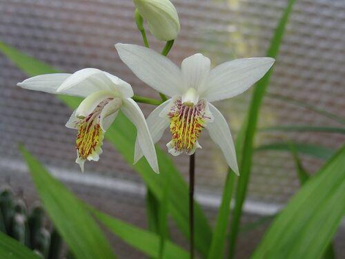 Bletilla striata 'Alba' 9cm (1-2 flowering stems) for sale ireland