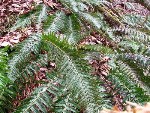 Polystichum aculeatum- Hard Shield Fern 9cm £3.95