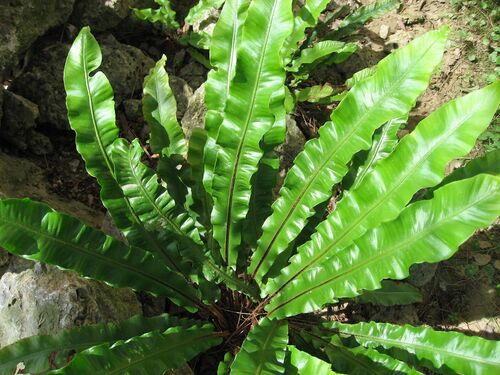 Asplenium scolopendrium 'Undulata' Wavy Hart's Tongue Fern plug €2.95