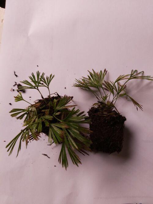 Actiniopteris radiata Fan Leaf Fern plug plant €3.50