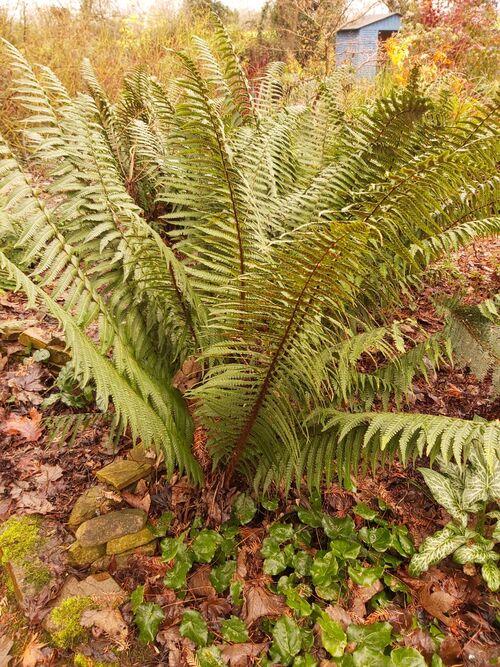 Dryopteris wallichiana - Wallich's Wood Fern for sale Ireland