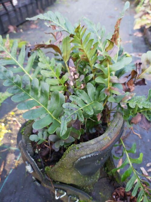 Polypodium scouleri - Leathery Polypody 1 litre €12