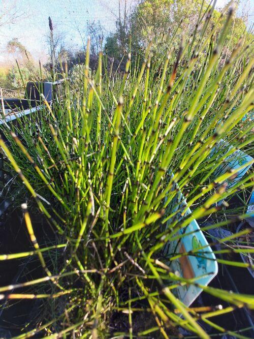 Equisetum scirpoides - Dwarf Horsetail 9cm €4.95