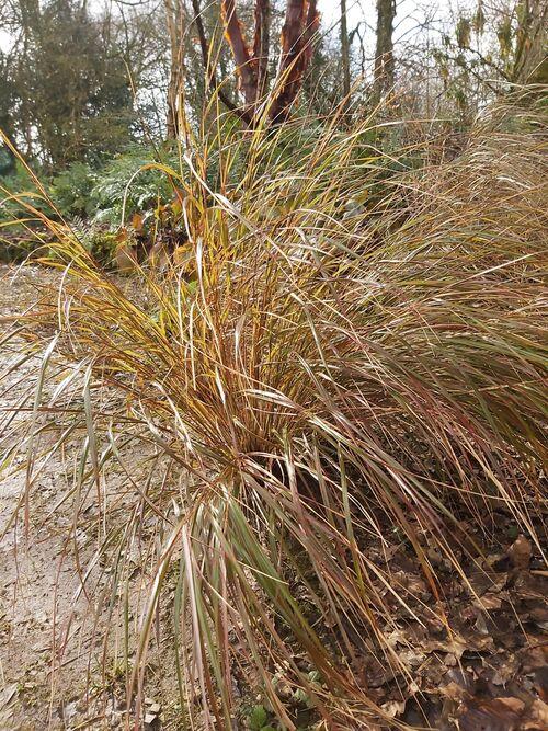 Anemanthele lessoniana (Stipa arundinacea) for sale Ireland