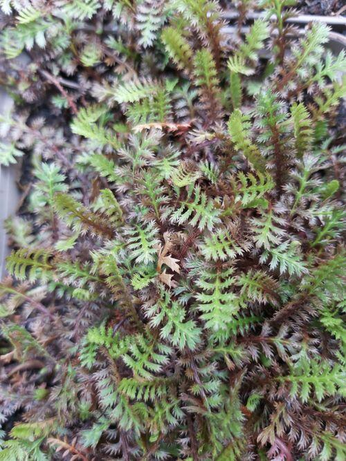 Leptinella squalida 'Platts Black' for sale in Ireland