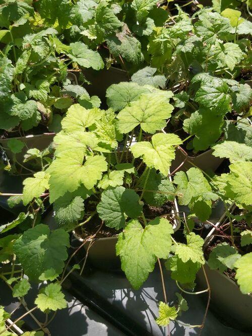 Tiarella cordifolia 'Moorgrün' €5.95 for sale Ireand