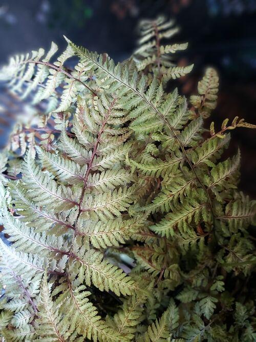 Athyrium nipponicum 'Silver Falls' 9cm `€4.95