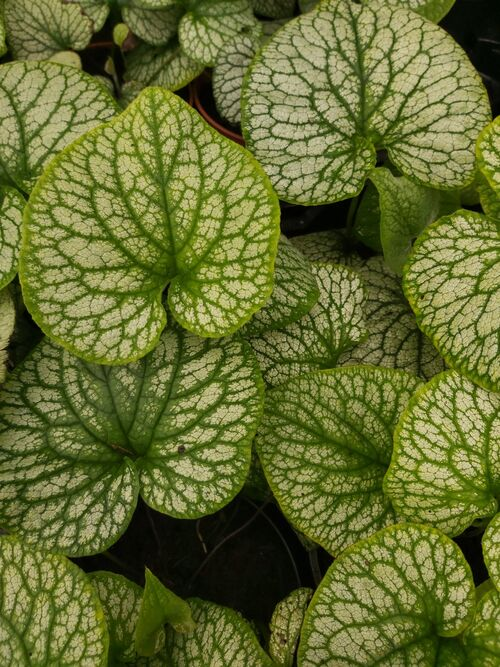Brunnera macrophylla 'Alexanders Great' 2 litre €9.95