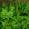 Anemia tomentosa -Hairy Flowering Fern