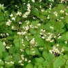 Epimedium pubigerum sold out