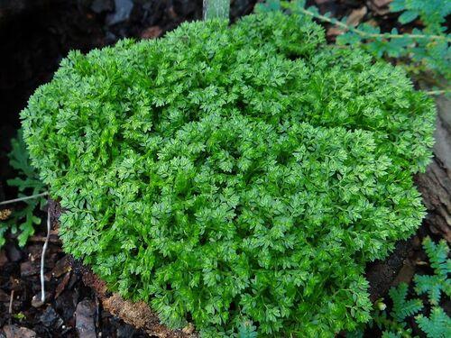 Selaginella apoda (Meadow Spikemoss) 6cm €3.95 (3 for €9.95)