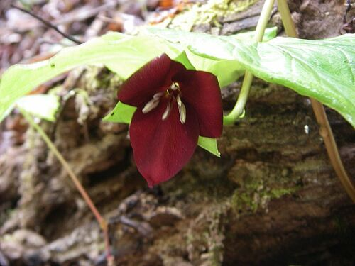 Trillium vaseyi- Sweet Wakerobin 9cm pot €11.95