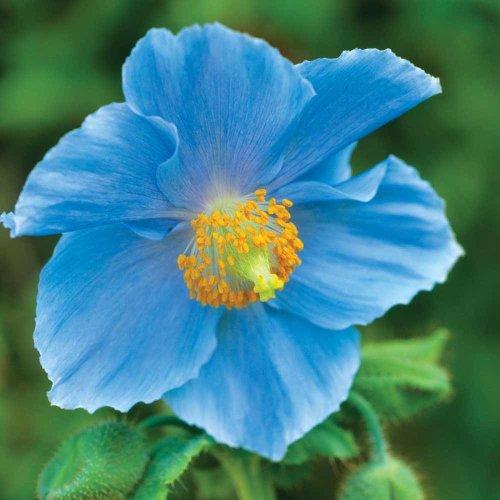 Meconopsis betonicifolia - Blue Himalayan Poppy Sold out