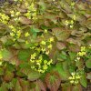 epimedium perralchicum 'Frohnleiten's sold out