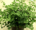 Adiantum capillus-veneris (The Maiden Hair Fern) Plug-plant £3.50