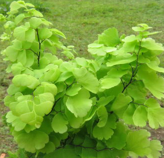 Adiantum monocolor Pacific Maidenhair Fern 1 litre €5.95