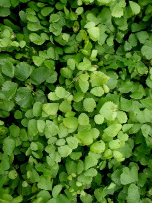 Adiantum venustum- Himalayan Maidenhair plug €3.50