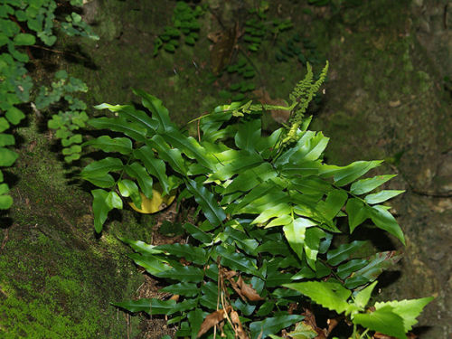 Anemia mexicana - Mexican Flowering Fern