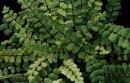 Asplenium trichomanes -Maidenhair Spleenwort 9cm £3.95
