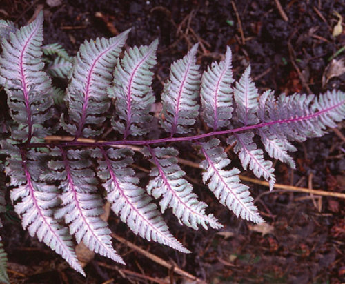 Athyrium nipponicum 'Burgundy Lace' Japanese Painted Fern