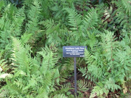 Athyrium angustata 'Lady in Red' for sale Ireland