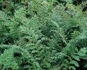 Athyrium filix-femina 'Vernoniae Cristatum' 9cm £4.95
