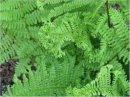 Athyrium filix-femina 'RotsteilGrandiceps' Crested Lady Fern 9cm £4.95