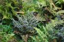 9 Hardy ferns £29