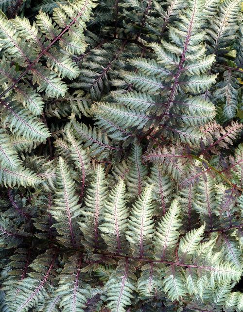 Athyrium nipponicum 'Pewter Lace' 9cm £4.95
