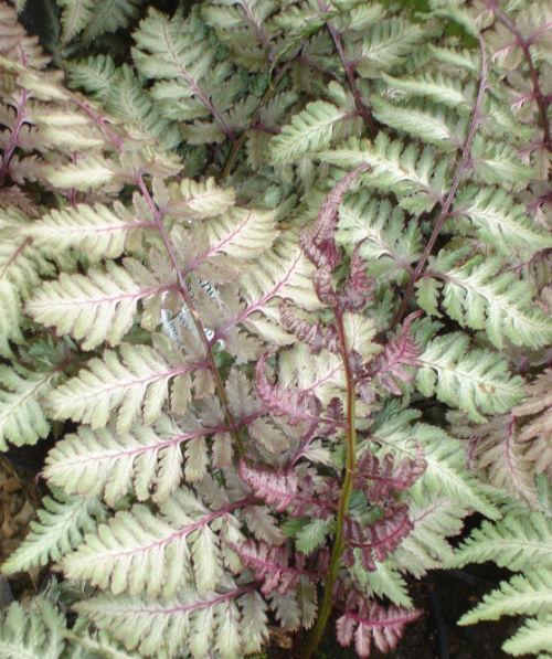 Athyrium nipponicum 'Regal Red' 9cm £5.95