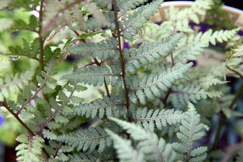 Athyrium 'Ghost' for sale ireland