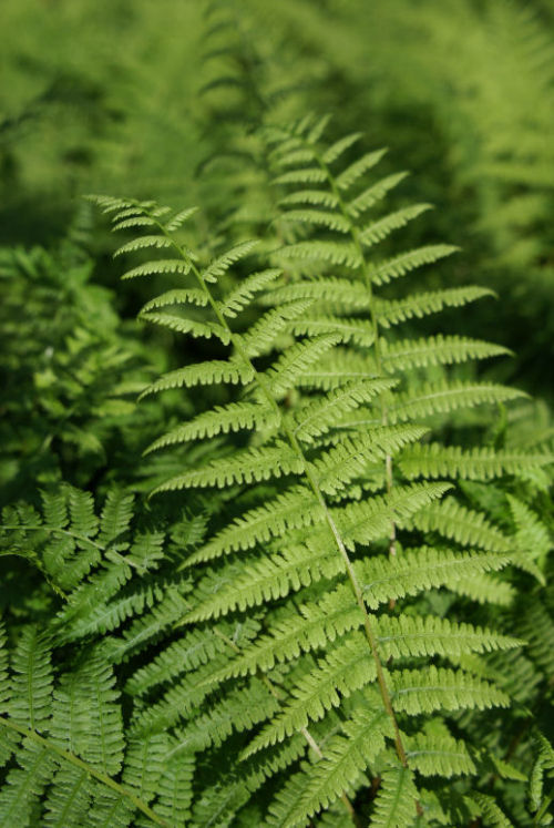 Athyrium filix-femina - The Lady Fern 9cm £3.95