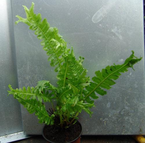 Blechnum brasiliense 'Cristatum'- Crested Brazilian Tree Fern 9cm £9.95