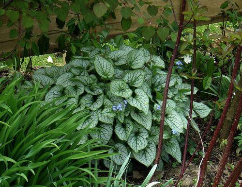 Brunnera macrophylla 'Jack Frost' for sale in Ireland