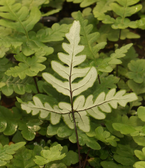 Cheilanthes argentea - Silver Cloak Fern