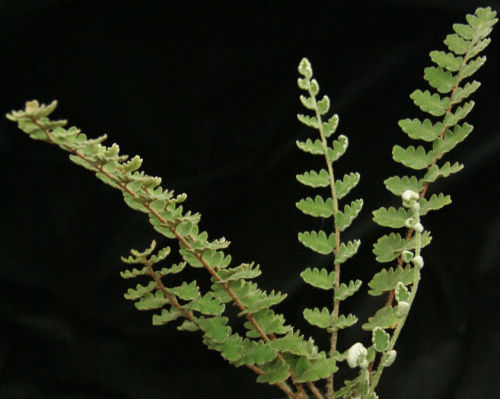 Cheilanthes sinuata -  Wavy Cloak Fern