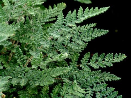 Cheilanthes tomentosa  - Woolly Lip Fern